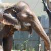 프놈펜 명물코끼리 '삼보' 다시 정글로