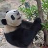 [아시아라운드업] 중국 천연기념물 판다 '수난시대'