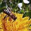 캄보디아의 '꿀벌'이 사라지고 있다