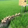 [中 19차 공산당대회] 중국 친환경 녹색농업 로드맵 발표···오리·게 농법 인기
