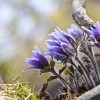 '할미꽃'의 슬프디 슬픈 유래를 아시나요?