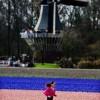 네덜란드는 '튤립' 천지