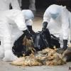 홍콩 조류독감 비상···1만7천여 마리 살처분