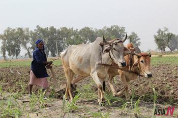 머리 치장하고 밭가는 파키스탄 황소