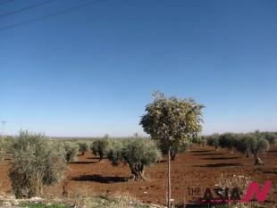 올리브나무와 오렌지나무 , 가시덤불 너머의 시리아 하늘