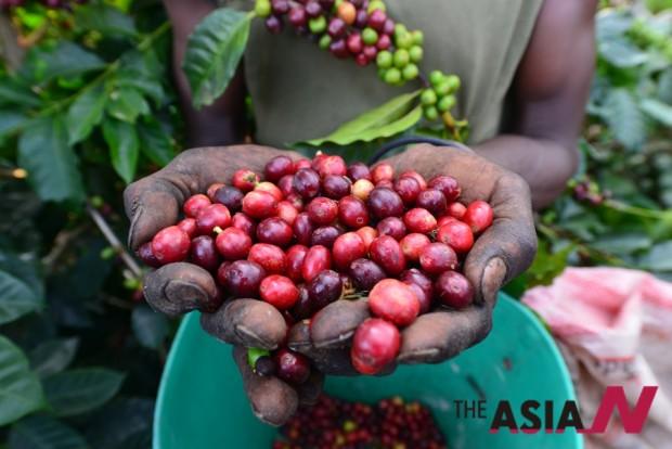 잘 익은 커피체리만을 수확해야 쓴맛이나 떫은맛이 없는 향미좋은 커피를 만들 수 있다.