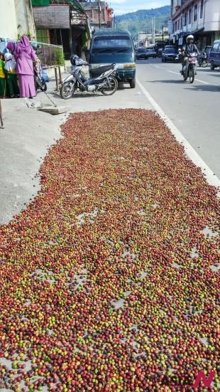커피 수확철에 도로 변은 생두를 널어 말리는 건조장으로 활용된다.