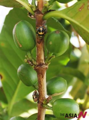 감자맛 결함의 원인으로 지목받는 안테스티아(Antestia Bug)가 커피나무 가지에 있는 모습