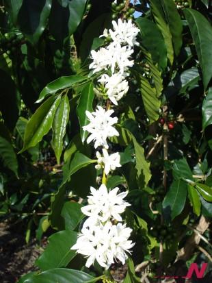 아라비카 종의 커피나무