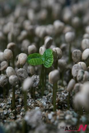 커피씨앗에서 새싹이 돋아난 모습