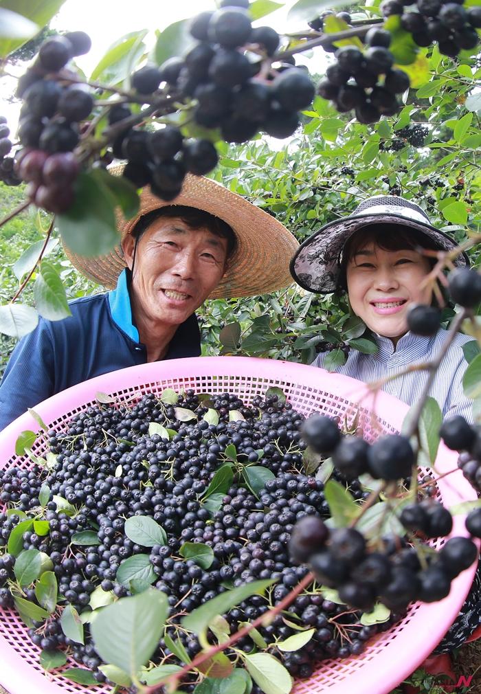 지난 7월 경남 함양군 휴천면 원기마을 이국성씨가 탐스럽게 잘 익은 아로니아를 수확하고있다.