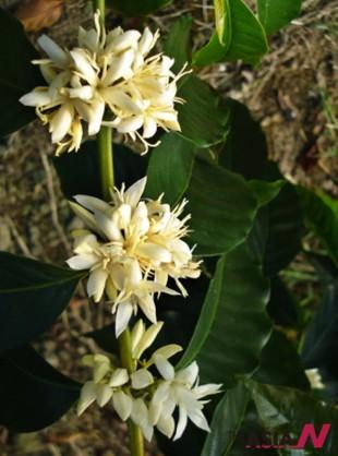 커피꽃은 한 가지에 10~14군데 꽃송이처럼 몰려서 핀다. 한 묶음은 통상 꽃이 14~18송이가 핀다, 꽃이 핀 자리에 한 알의 커피열매가 맺힌다.