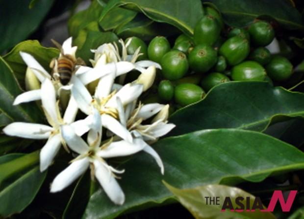 커피꽃은 흰색에 꽃잎이 다섯 장으로, 재스민과 오렌지꽃과 생김이 비슷하다. 17세기까지 커피꽃은 아라비안 재스민이라고 불렸다. 커피가 이슬람권의 문화였기 때문이다.